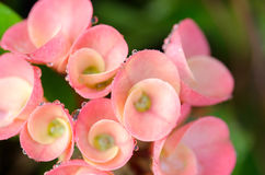 Fleurs de POI Si-ngan Photographie stock libre de droits