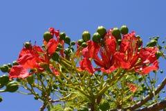 Fleurs de Poinciana photo stock