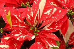 Fleurs de poinsettia marbrées par stupéfaction Image libre de droits