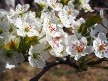 Fleurs de poire Photographie stock