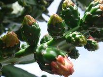 Fleurs de poire de cactus Photo stock