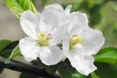 Fleurs de poire de ressort Image libre de droits