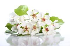 Fleurs de poire sur le blanc Photos libres de droits