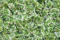 Fleurs de poireau Photos stock