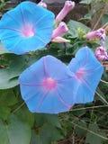 Fleurs de pois photographie stock