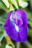 Fleurs de pois pourpre en nature Photos libres de droits