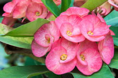 Fleurs de PoiSian Photo libre de droits
