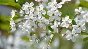 Fleurs de pollination d'été de nature de mouvement lent de fleurs de ressort d'arbres fleurissants d'abeille les belles rassemble banque de vidéos