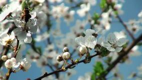 Fleurs de pollination d'abeille de cerisier banque de vidéos