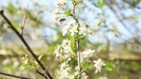 Fleurs de pollination d'abeille sur l'arbre clips vidéos