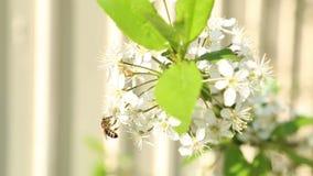 Fleurs de pollination d'abeille sur l'arbre banque de vidéos