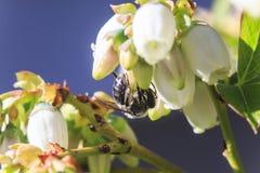 Fleurs de pollination de myrtille d'abeille image stock