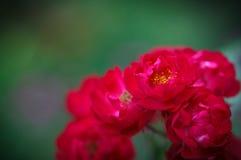 Fleurs de polyantha de Rosa Photo libre de droits