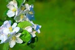 Fleurs de pomme Photo libre de droits