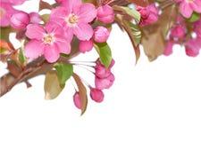 Fleurs de pomme de source Images libres de droits