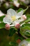Fleurs de pomme de source Photographie stock