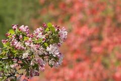Fleurs de pomme sauvage Photos stock