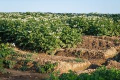 Fleurs de pomme de terre fleurissant dans le domaine Photographie stock libre de droits