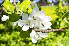 Fleurs de pommier étroites Images stock