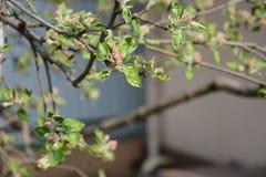 Fleurs de pommier Photo libre de droits