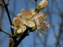Fleurs de pommier Images stock