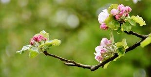 Fleurs de pommier photographie stock