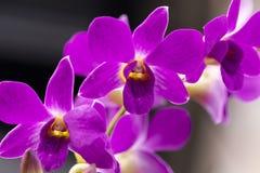 Fleurs de pourpre d'orchidée Image stock