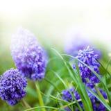Fleurs de pourpre de ressort Photos libres de droits