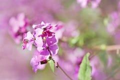 Fleurs de pourpre de ressort de beauté images stock