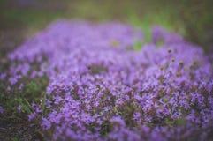 Fleurs de pourpre de ressort Thym au foyer mou de for?t photographie stock libre de droits