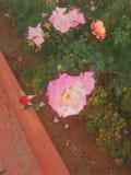 Fleurs de pourpres Photo libre de droits