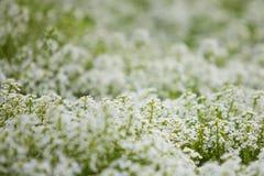 Fleurs de pré Photo libre de droits