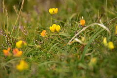 Fleurs de prés Photo libre de droits