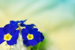 Fleurs de primevère Images stock