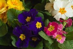 Fleurs de primevère Photographie stock libre de droits