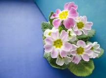 Fleurs de primevère de ressort Fond floral avec des fleurs de primevère La primevère sensible fleurit sur un fond de bleu et de t Photos libres de droits