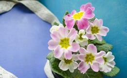 Fleurs de primevère de ressort Fond floral avec des fleurs de primevère La primevère sensible fleurit sur un fond de bleu et de t Images libres de droits