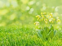 Fleurs de primevère sur le fond d'herbe de blurreg Image libre de droits