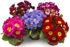 Fleurs de primevères, primevère de primevère Photographie stock