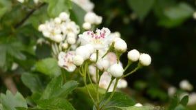 Fleurs 3 de printemps de Huathe d'aubépine image stock