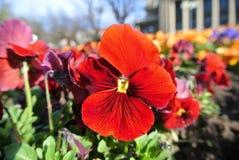 Fleurs de printemps rouge, pensées de jardin Photographie stock