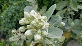Fleurs de procera de Calotropis Image stock