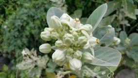 Fleurs de procera de Calotropis Images libres de droits