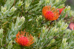 Fleurs de protea de pelote à épingles Photos libres de droits