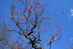 Fleurs de prune Photographie stock