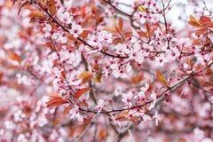 Fleurs de prune Images libres de droits