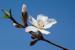 fleurs de Prune-arbre Photos libres de droits