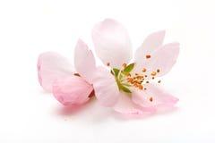 Fleur de prune image libre de droits