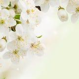 Fleurs de prune dans la fin verte de jardin  Photographie stock