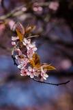 Fleurs de prune de merisier Photographie stock libre de droits